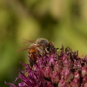 bee-on-allium-5