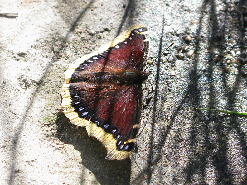 butterfly-mahogany-white-edge-Nymphalis-antiopa-mourning-cloak-butterfly-garden-2009-01-18-IMG_1695.jpg