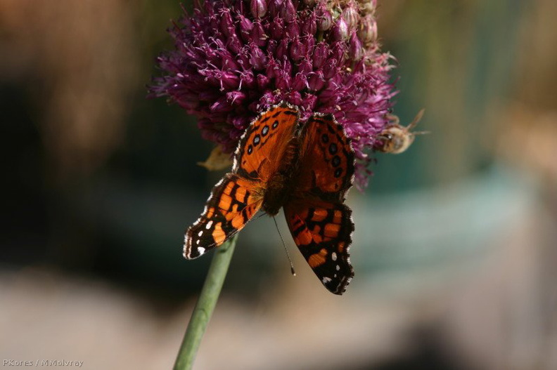 butterfly-orange-bee-on-allium-21-good-sm.jpg