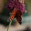 butterfly-orange-bee-on-allium-21-good-sm