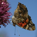 butterfly-orange-on-allium-9-good-sm