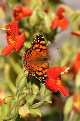 butterfly-orange-on-mimulus-3-best-sm
