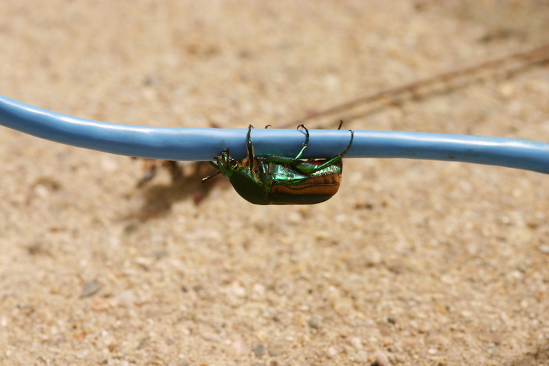green-scarab-beetle-3