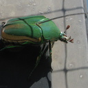 green-scarab-beetle-on-screen-door-2008-09-17-IMG 1351