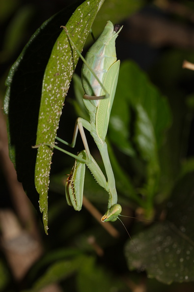preying-mantis-in-garden-2014-10-04-IMG_0225..jpg