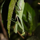 preying-mantis-in-garden-2014-10-04-IMG 0225.