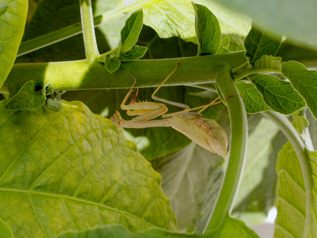 preying-mantis-on-Brugmansia-angels-trumpet-2016-09-16-IMG 7273
