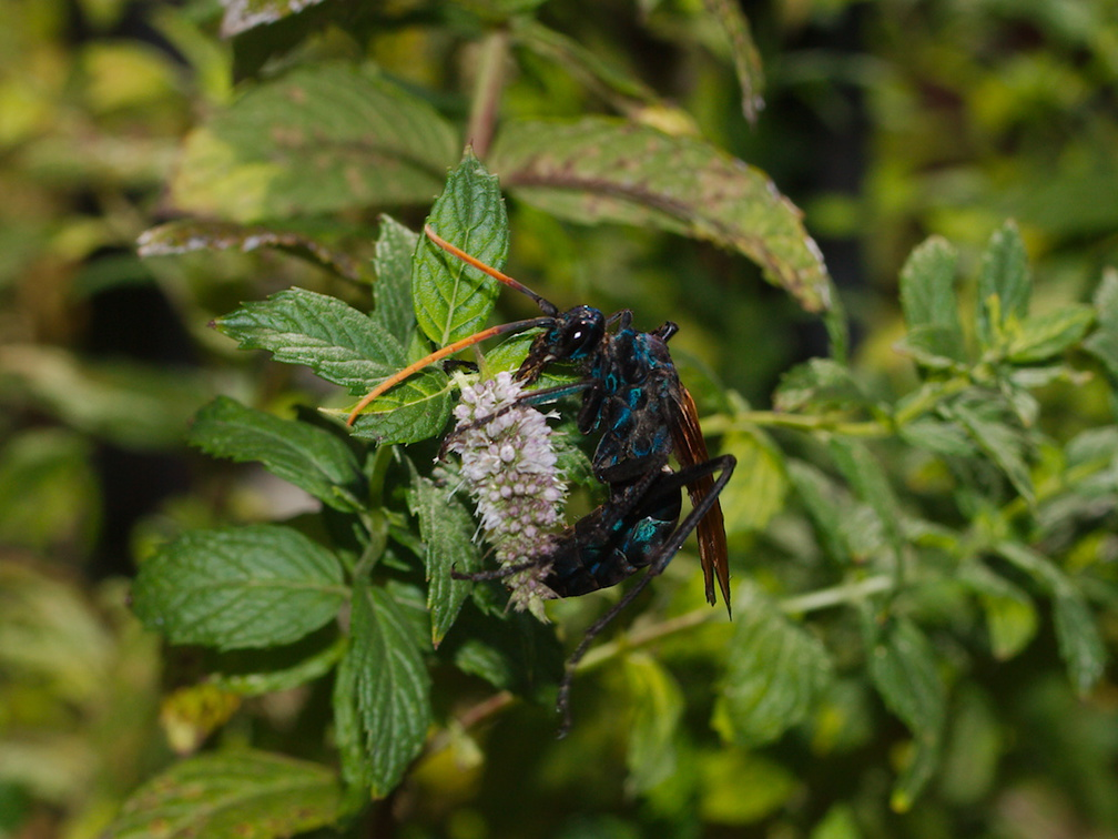 tarantula-wasp-on-mint-Moorpark-2016-08-17-IMG 3475