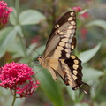 tiger-swallowtail-butterfly-Papilio-glaucus-in-garden-on-Centaurea-Jupiters-beard-2013-08-08-IMG 9802