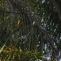 juvenile-and-male-hooded-oriole-parent-in-garden-2012-07-11-IMG 2213