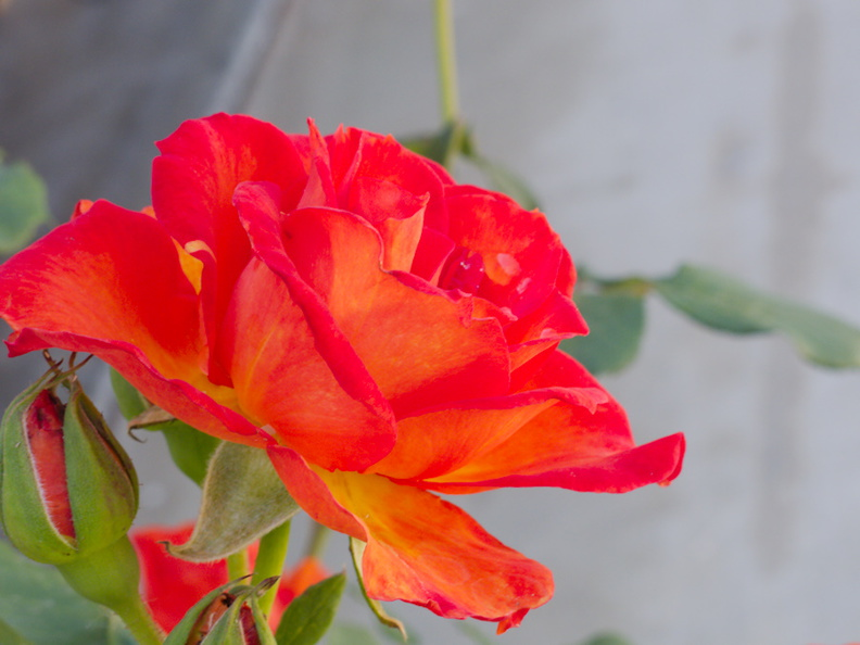 peace-type-rose-garden-2015-04-08-IMG_4847.jpg