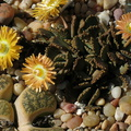 Aloinopsis-malherbei-giant-jewel-plant-copper-colored-flowers-garden-2013-03-09-IMG 0270