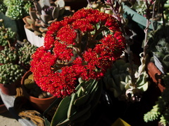 Crassula-falcata-brilliant-red-flowers-propeller-plant-2010-09-29-IMG 6495