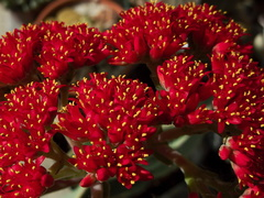 Crassula-falcata-brilliant-red-flowers-propeller-plant-2010-09-29-IMG 6499