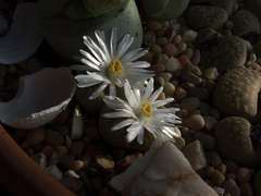 Lithops-sp-stone-plant-white-flowered-2012-12-06-IMG 2908