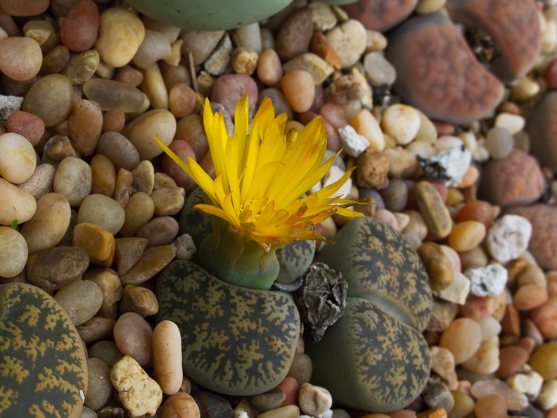Lithops-sp-yellow-flowered-2009-12-15-IMG_3575.jpg