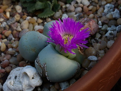 Pleiospilos-sp-purple-and-yellow-flowers-2014-12-04-IMG 4303.