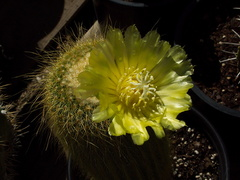 cactus-indet-lemon-yellow-flowered-Santa-Paula-shop-2009-10-23-IMG 3427