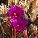 cactus-indet-magenta-flowered-Santa-Paula-shop-2009-10-23-IMG 3417