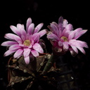 cactus-indet-pink-flowered-Santa-Paula-shop-2009-10-23-IMG 3425