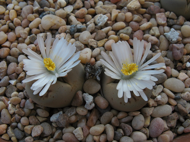 lithops-white-flowered-garden-2008-10-29-IMG_1474.jpg