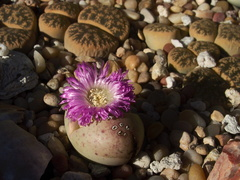 purple-flowered-pinkish-stone-plant-2012-08-30-IMG 2745