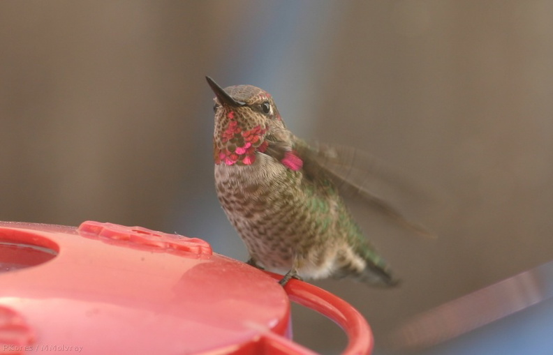Annas-hummingbird-male-juv-closeup.jpg