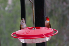 female-and-male-Allens-hummingbirds-at-garden-feeder-Moorpark-2018-03-13-IMG 8713