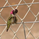 hummingbird-anna s-male-preening-fence-2