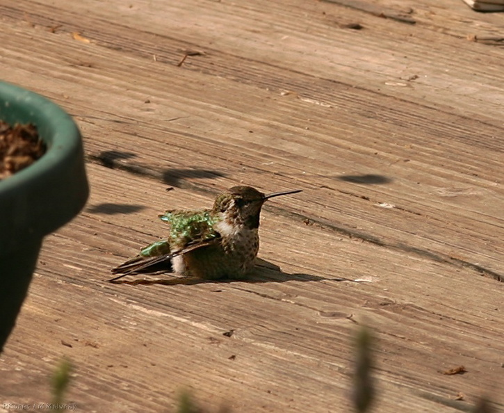 hummingbird-on-deck-5.jpg