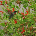 hummingbird-on-mimulus-cardinalis-2008-07-13-IMG 0221