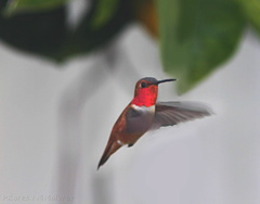 hummingbird-rufous-male-at-feeder