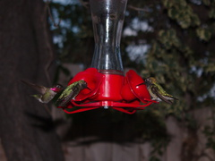 hummingbirds-at-feeder-2014-03-24-IMG 9931