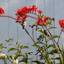 hummingbirds crocosmia8