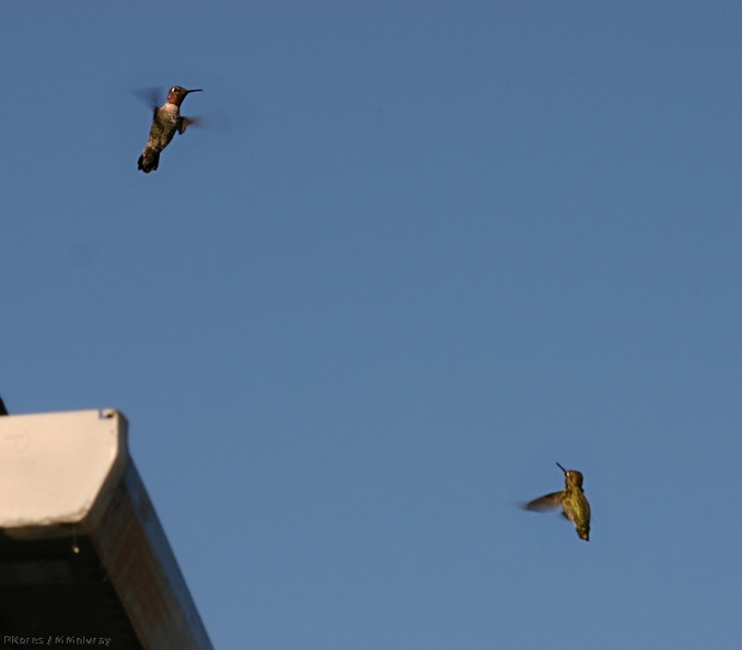 img_1375-hummingbirds-fighting-10.jpg