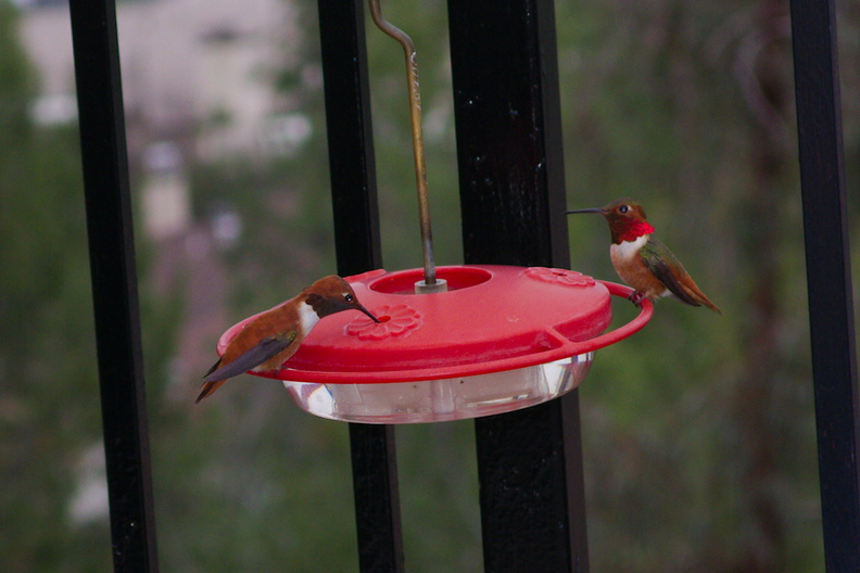 rufous-male-hummingbird-and-Allens-male-at-garden-feeder-Moorpark-2018-03-13-IMG 8729