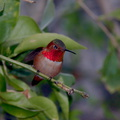 rufous-male-hummingbird-in-grapefruit-tree-2014-03-27-IMG 9970