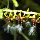 Bulbophyllum-sp-London-RHS-1997-2c