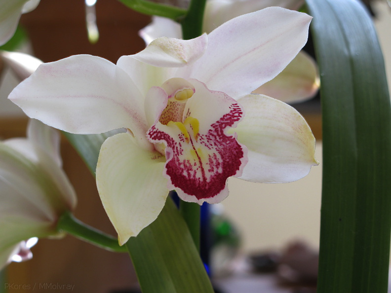 Cymbidium-white-red-outlined-lip-2009-02-26-IMG_1799.jpg