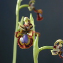 Ophrys-ciliata-4