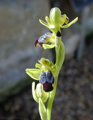 Ophrys-fusca