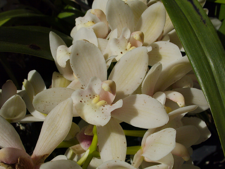 Cymbidium-Sarah-Jean-rose-on-ice--creamy-white-SBOE-2014-03-17-IMG_3380.jpg