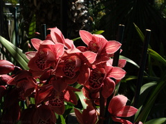 Cymbidium-red-var-Vogels-magic-SBOE-2009-03-22-IMG 2471