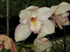 Cymbidium-sp1-balkis-type-sboe-2008-07-12-img 0163