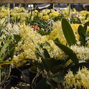 Dendrobiums-flowering-in-mass-SBOE-2015-03-14-IMG 4493