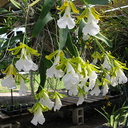 indet-orchid-large-white-massed-flowers-sbof-2008-07-12-img 0168