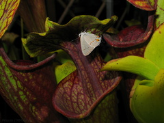 butterfly-white-on-Sarracenia-sboe-2008-07-12-img 0101