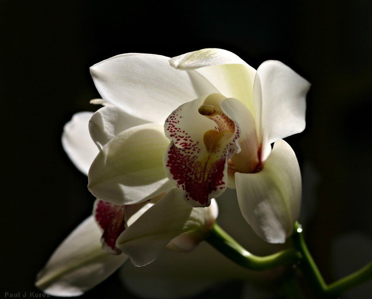 cymbidium-red-spotted-labellum-07-11.jpg