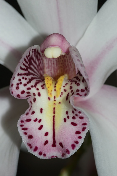 Cymbidium-Pearl-Blakis-Cooksbridge-white-pink-lip-2012-04-21-IMG 4690