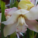 Cymbidium-cream-with-bud-opening-yellowish-23-05-2011-IMG 8030